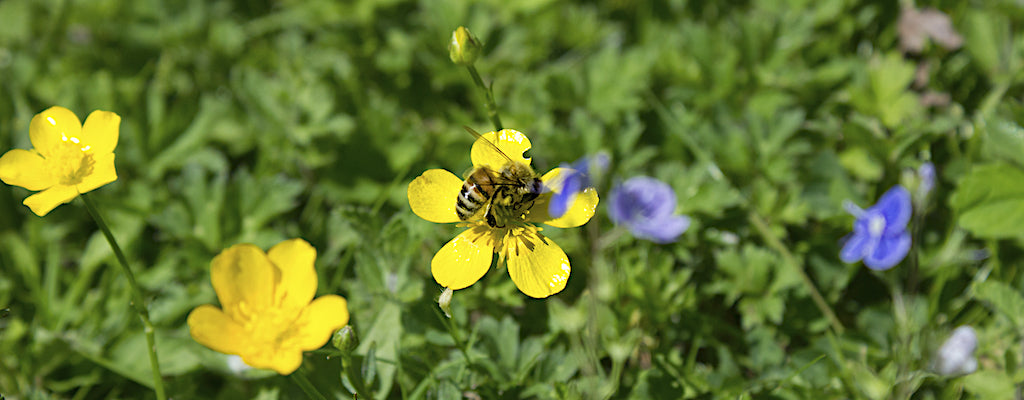 Buckfast Abbey honey bee collects nectar from a buttercup