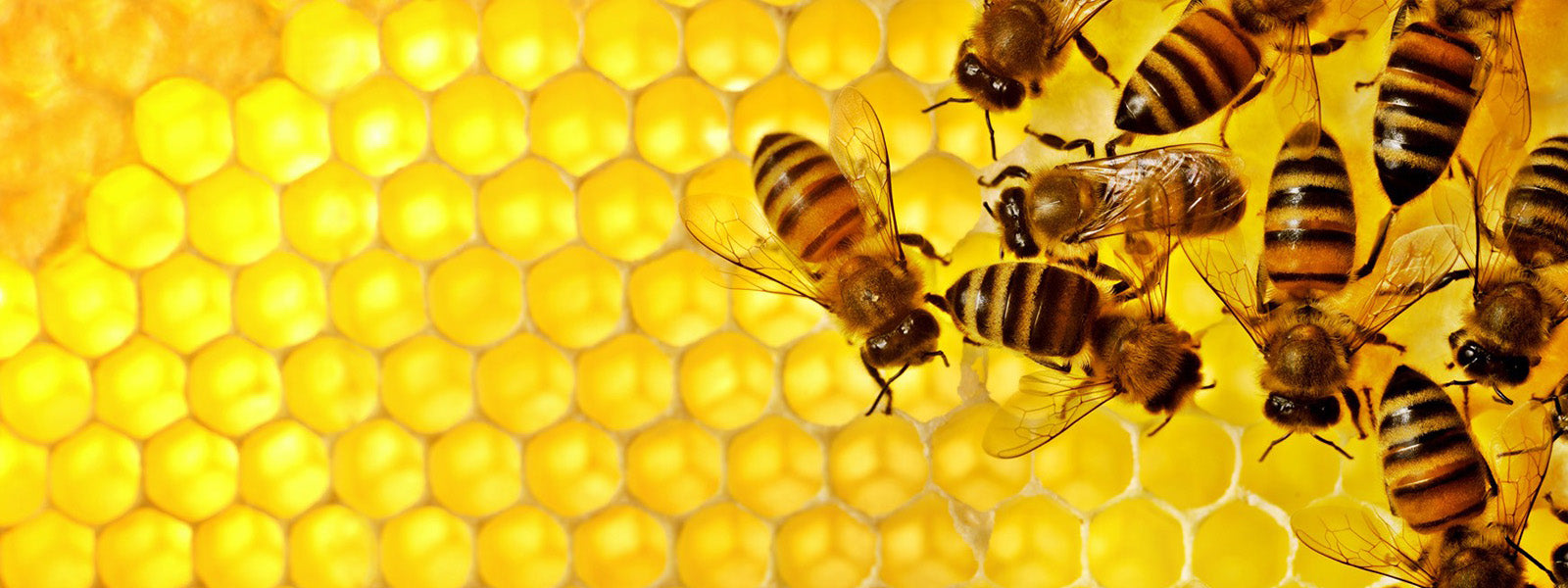 worker bees cleaning cells of comb