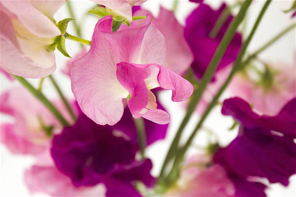 Gilboy's Gold Sweet Pea