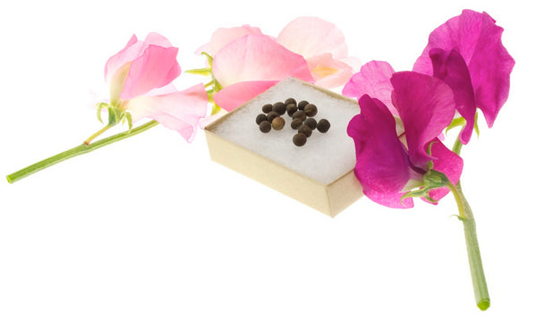 complimentary sweet pea seeds for you to plant and grow as a thank you to the bees