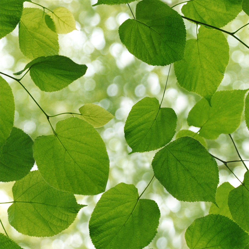 Sunlight Through Leaves wallpaper