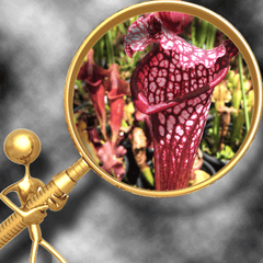 American Trumpet Pitcher Plants (Sarracenia)