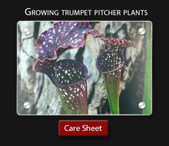 Carnivorous plant care sheet  How to grow a trumpet pitcher plant sarracenia