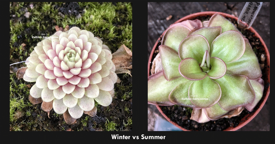 Comparison Winter dormancy vs summer growth in mexican pinguicula * carnivorous butterworts