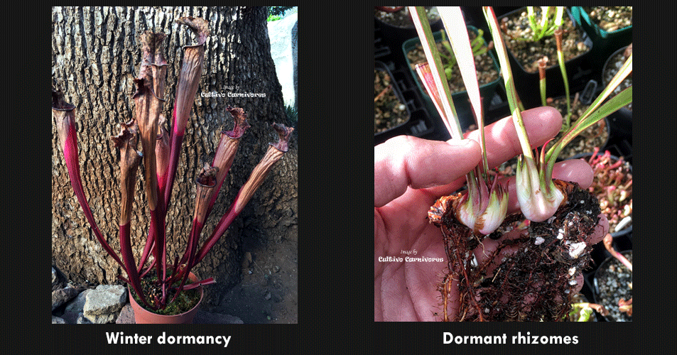 Carnivorous sarracenia Trumpet pitcher plants winter dormancy