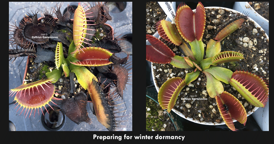 Venus flytrap preparing for winter dormancy
