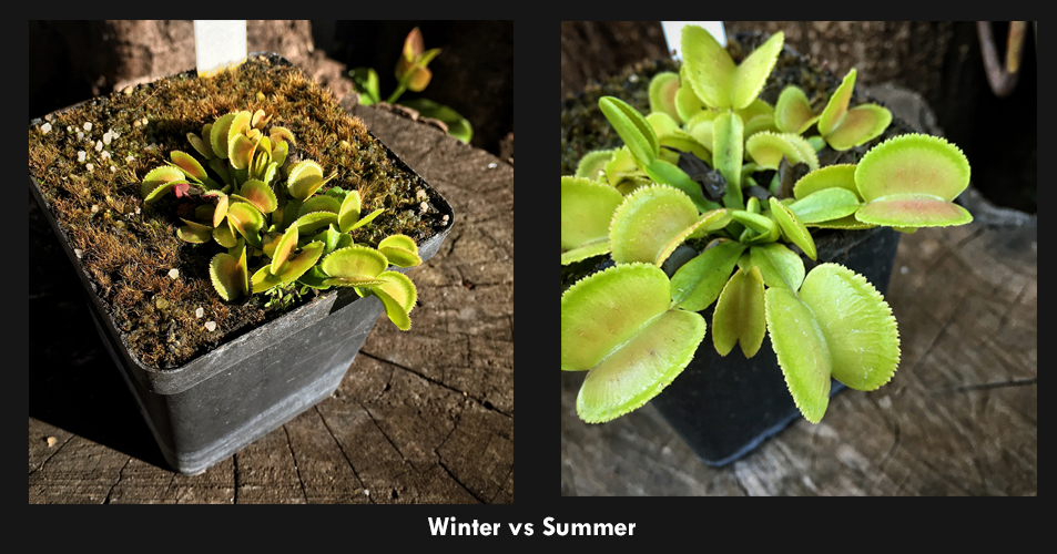Winter vs summer - venus fly trap cv Whale