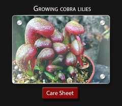 Carnivorous plant care sheet How to grow a cobra lily successfully