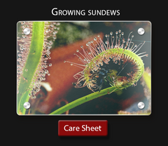 carnivorous plant care sheet  How to grow a sundew octopus plant drosera