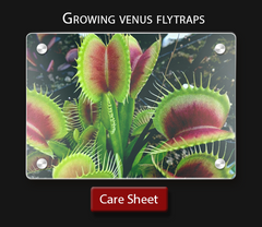 Carnivorous plant care How to grow a venus fly trap successfully