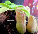 TROPICAL PITCHER PLANT:  Nepenthes Alata biflora for sale | Buy carnivorous plants and seeds online @ South Africa's leading online plant nursery, Cultivo Carnivores