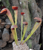 TRUMPET PITCHER:  Sarracenia Godzuki (Special Hybrid) for sale | Buy carnivorous plants and seeds online @ South Africa's leading online plant nursery, Cultivo Carnivores