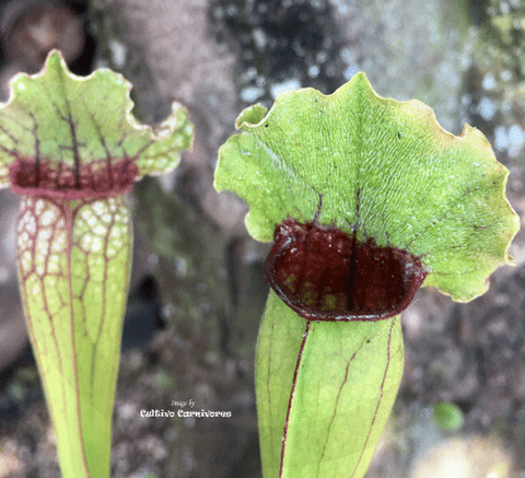 TRUMPET PITCHER:  Sarracenia Cultivo's Mitchelliana Complex for sale | Buy carnivorous plants and seeds online @ South Africa's leading online plant nursery, Cultivo Carnivores
