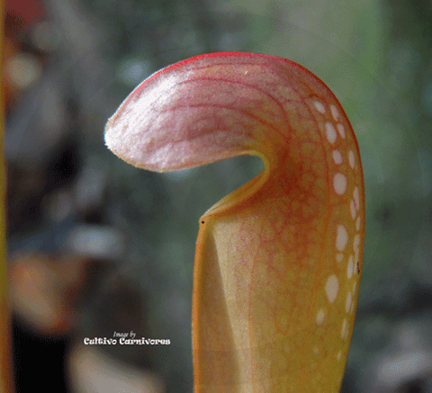 TRUMPET PITCHER:  Sarracenia Minor okefenokeensis giant for sale | Buy carnivorous plants and seeds online @ South Africa's leading online plant nursery, Cultivo Carnivores