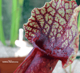 TRUMPET PITCHER:  Sarracenia Mitchelliana (Special Hybrid) for sale | Buy carnivorous plants and seeds online @ South Africa's leading online plant nursery, Cultivo Carnivores