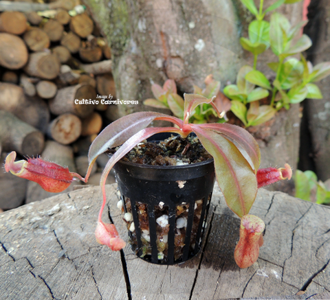 Tropical Pitcher Plant: Nepenthes (Aristolochiodes x Spectabilis) x (Spathulata x Mira) for sale | Buy carnivorous plants and seeds online @ South Africa's leading online plant nursery, Cultivo Carnivores