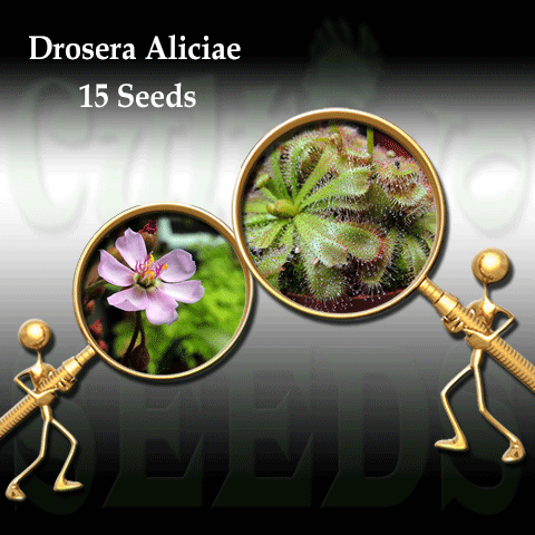 Seeds - Drosera Aliciae for sale | Buy carnivorous plants and seeds online @ South Africa's leading online plant nursery, Cultivo Carnivores