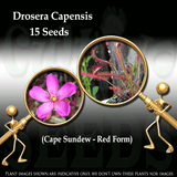 SEEDS: Sundew > Drosera Capensis Red form for sale | Buy carnivorous plants and seeds online @ South Africa's leading online plant nursery, Cultivo Carnivores