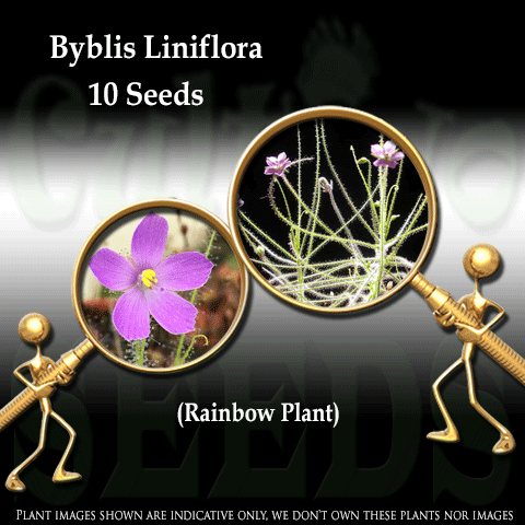 SEEDS: Rainbow Plant > Byblis Liniflora for sale | Buy carnivorous plants and seeds online @ South Africa's leading online plant nursery, Cultivo Carnivores