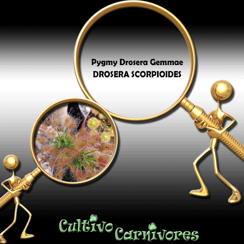 PYGMY DROSERA GEMMAE: Drosera Scorpioides for sale | Buy carnivorous plants and seeds online @ South Africa's leading online plant nursery, Cultivo Carnivores