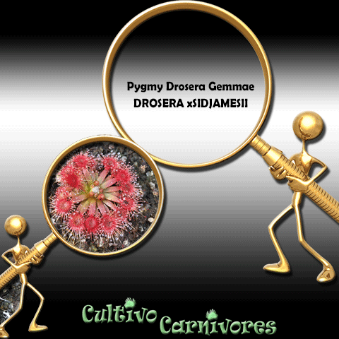 Pygmy Drosera Gemmae - Drosera x Sidjamesii for sale | Buy carnivorous plants and seeds online @ South Africa's leading online plant nursery, Cultivo Carnivores