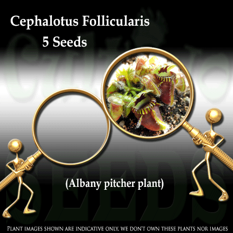 SEEDS: Albany Pitcher Plant > Cephalotus Follicularis TYPICAL for sale | Buy carnivorous plants and seeds online @ South Africa's leading online plant nursery, Cultivo Carnivores
