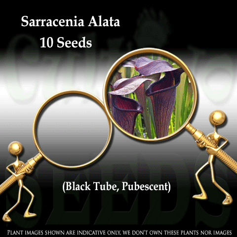 SEEDS: Trumpet Pitcher > Sarracenia Alata. Black Tube, Pubescent. Loc DeSoto, NF for sale | Buy carnivorous plants and seeds online @ South Africa's leading online plant nursery, Cultivo Carnivores