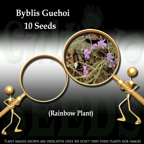 SEEDS: Rainbow Plant > Byblis Guehoi for sale | Buy carnivorous plants and seeds online @ South Africa's leading online plant nursery, Cultivo Carnivores