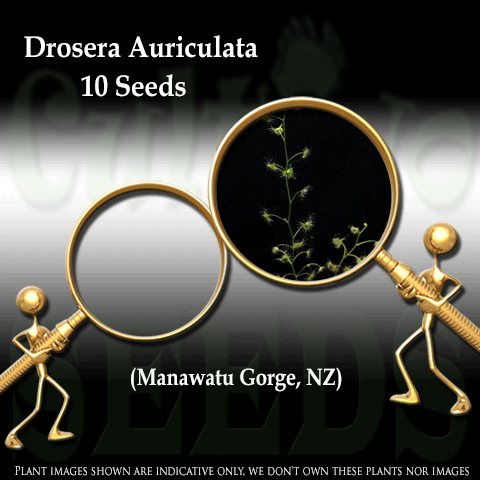 SEEDS: Sundew > Drosera Auriculata loc Manawatu Gorge for sale | Buy carnivorous plants and seeds online @ South Africa's leading online plant nursery, Cultivo Carnivores