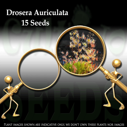 SEEDS: Sundew > Drosera Auriculata for sale | Buy carnivorous plants and seeds online @ South Africa's leading online plant nursery, Cultivo Carnivores