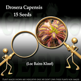 SEEDS: Sundew > Drosera Capensis loc Bains kloof for sale | Buy carnivorous plants and seeds online @ South Africa's leading online plant nursery, Cultivo Carnivores