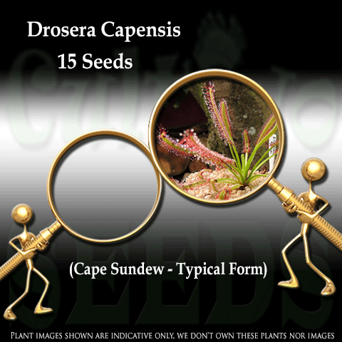 SEEDS: Sundew > Drosera Capensis Typical form for sale | Buy carnivorous plants and seeds online @ South Africa's leading online plant nursery, Cultivo Carnivores