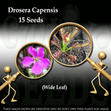 SEEDS: Sundew > Drosera Capensis Wide Leaf for sale | Buy carnivorous plants and seeds online @ South Africa's leading online plant nursery, Cultivo Carnivores