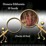 Seeds - Drosera Filiformis (Florida Red) for sale | Buy carnivorous plants and seeds online @ South Africa's leading online plant nursery, Cultivo Carnivores