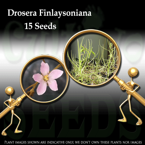 SEEDS: Sundew > Drosera Finlaysoniana (Drosera Indica Complex) for sale | Buy carnivorous plants and seeds online @ South Africa's leading online plant nursery, Cultivo Carnivores