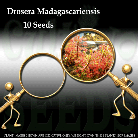 SEEDS: Sundew > Drosera Madagascariensis for sale | Buy carnivorous plants and seeds online @ South Africa's leading online plant nursery, Cultivo Carnivores