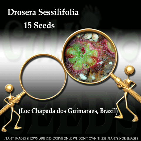 SEEDS: Sundew > Drosera Sessilifolia loc Chapada dos Guimaraes, Brazil for sale | Buy carnivorous plants and seeds online @ South Africa's leading online plant nursery, Cultivo Carnivores