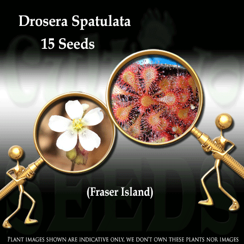 Seeds - Drosera Spatulata - Fraser Island - White Flower for sale | Buy carnivorous plants and seeds online @ South Africa's leading online plant nursery, Cultivo Carnivores