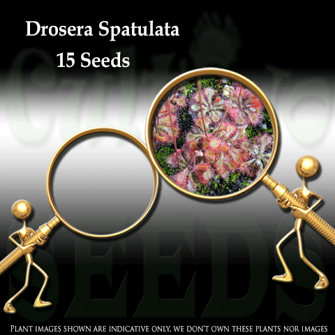 Seeds - Drosera Spatulata - Pink Flower for sale | Buy carnivorous plants and seeds online @ South Africa's leading online plant nursery, Cultivo Carnivores
