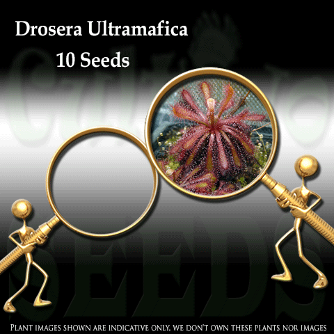 SEEDS: Sundew > Drosera Ultramafica for sale | Buy carnivorous plants and seeds online @ South Africa's leading online plant nursery, Cultivo Carnivores