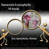 Seeds - Sarracenia Leucophylla loc Apalachicola, Florida for sale | Buy carnivorous plants and seeds online @ South Africa's leading online plant nursery, Cultivo Carnivores