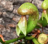 COBRA PLANT:  Darlingtonia Californica loc Lone Mountain Road for sale | Buy carnivorous plants and seeds online @ South Africa's leading online plant nursery, Cultivo Carnivores