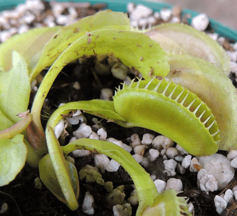 VENUS FLYTRAP:  Alien for sale | Buy carnivorous plants and seeds online @ South Africa's leading online plant nursery, Cultivo Carnivores