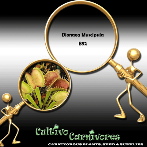 SEEDS: Venus Flytrap > Dionaea Muscipula B52 for sale | Buy carnivorous plants and seeds online @ South Africa's leading online plant nursery, Cultivo Carnivores