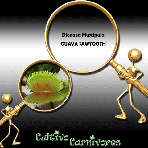 SEEDS: Venus Flytrap > Dionaea Muscipula GUAVA SAWTOOTH for sale | Buy carnivorous plants and seeds online @ South Africa's leading online plant nursery, Cultivo Carnivores