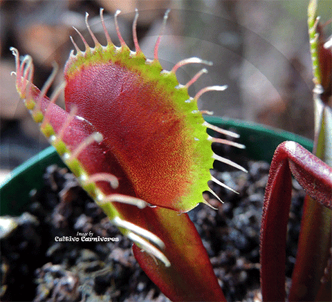 Venus Fly trap - Monster Red - Cultivo_Carnivores - Carnivorous - Plants - Seeds - Buy_online