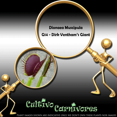 SEEDS: Venus Flytrap > Dionaea Muscipula G14 DIRK VENTHAM'S GIANT for sale | Buy carnivorous plants and seeds online @ South Africa's leading online plant nursery, Cultivo Carnivores