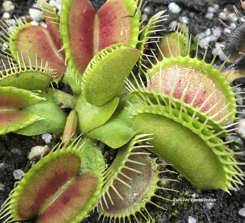 VENUS FLYTRAP:  Low Giant x DCXL for sale | Buy carnivorous plants and seeds online @ South Africa's leading online plant nursery, Cultivo Carnivores