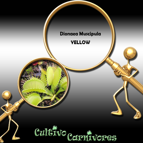 SEEDS: Venus Flytrap > Dionaea Muscipula YELLOW for sale | Buy carnivorous plants and seeds online @ South Africa's leading online plant nursery, Cultivo Carnivores