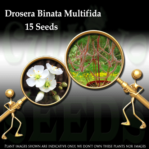 SEEDS: Sundew > Drosera Binata var multifida for sale | Buy carnivorous plants and seeds online @ South Africa's leading online plant nursery, Cultivo Carnivores